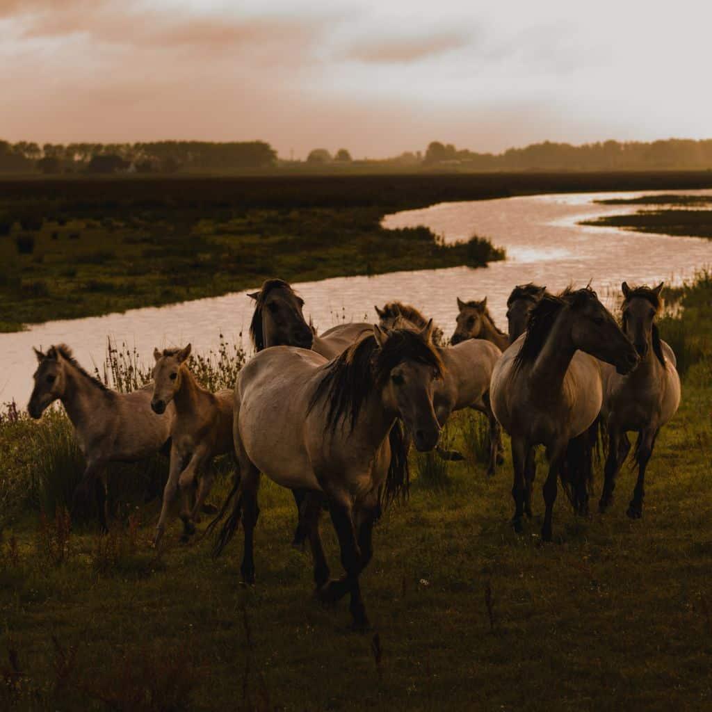 wilde paarden biesbosch