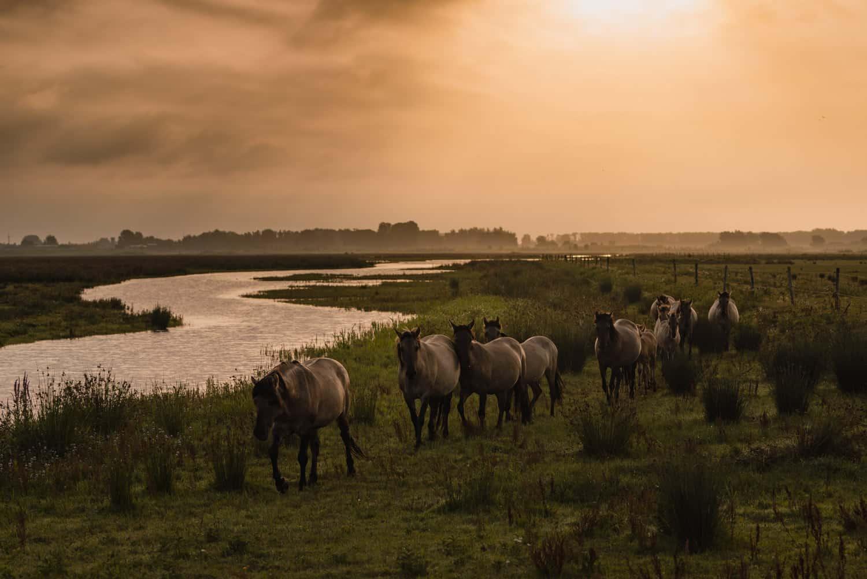 wilde paarden spotten in nederland