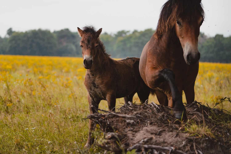 exmore ponies in maashorst