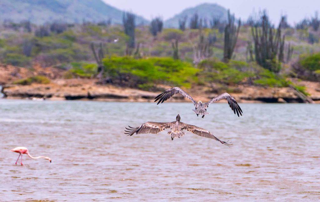 flamingos spotten bonaire