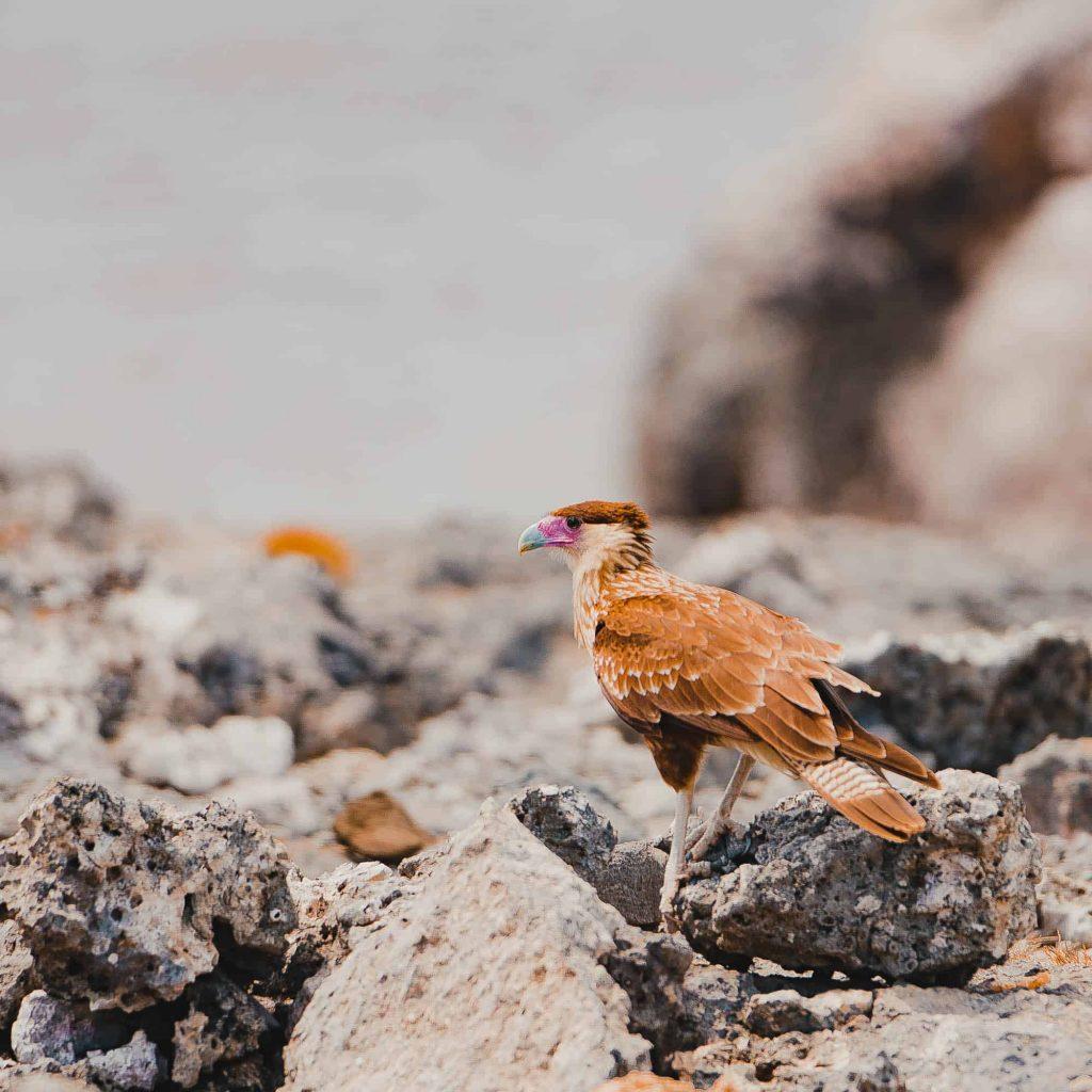 ornitologie caraiben