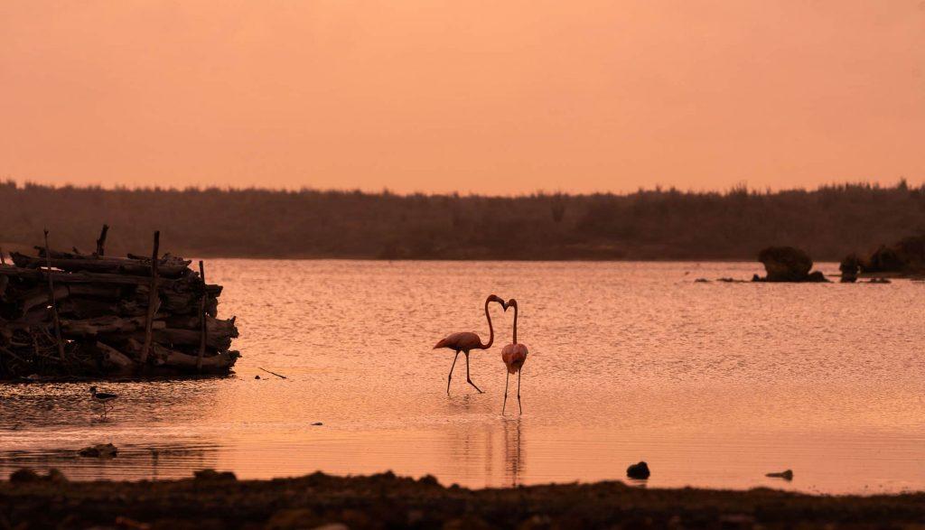 flamingos bonaire