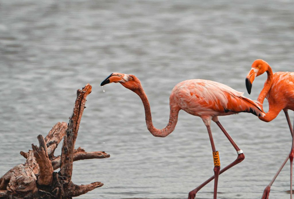 flamingos en duiken in bonaire