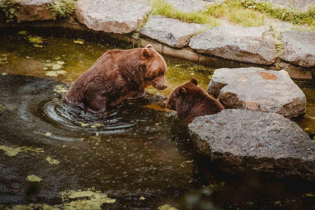 Beren spotten in de Grotten van Han
