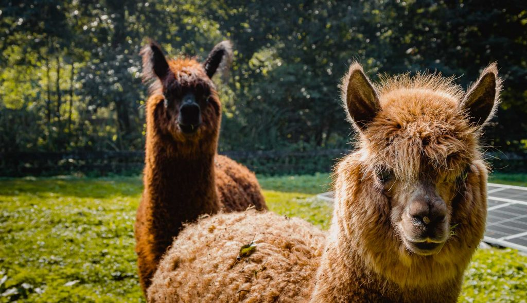 Glamping met alpaca's